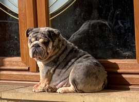 blue merle clear 22 month english bulldog for sale