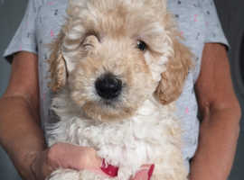 Toy Poodle male back up for sale.