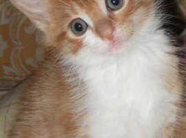Semi long haired kitten