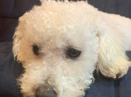 Beautiful bichon frise boy for sale