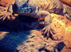 Uromastyx for sale with set up