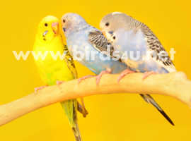 Baby budgies for sale,15