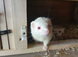 Half micro adult ferrets