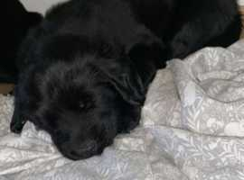 Picture Perfect KC Registered Health Tested Flat Coated Retriever Puppies