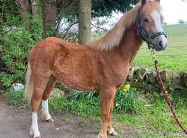 Registered Welsh Section A Filly