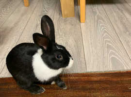 8 month fully vaccinated Dutch Rabbit