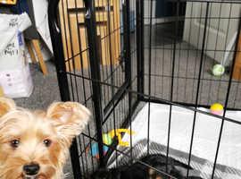 4 full pedigree Yorkshire terrier girl pups