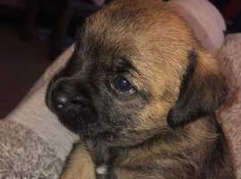Beautiful Border Terrier - Girl