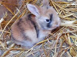 Beautiful baby rabbits (ready Nov)