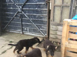 german shepherd black over tan long coat puppies ready for forever homes
