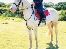 stunning 14.2 cremello mare