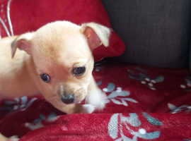 lovely small female chihuahua