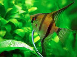 Free juvenile angelfish