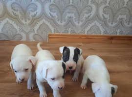 Staffordshire bull terrier puppys