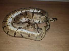 Male Phantom Stingerbee Ball Python
