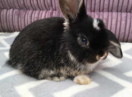 Mini lop bunnie NOW RESERVED