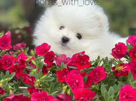 Miniature Pomeranian boy, PURE WHITE