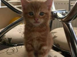 Ragdoll cross kitten little boy