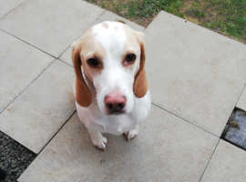 Ben 4 Year Old Beagle