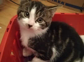 Three gorgeous tabby Bengal X kittens left