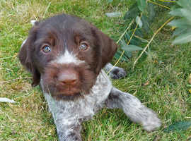 KC Registered German Wirehaired Pointer Pups