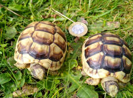 Marginated Tortoises