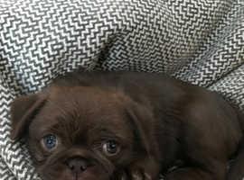 Stunning chunky Pups