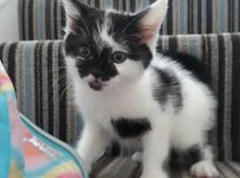 Female kitten ready now