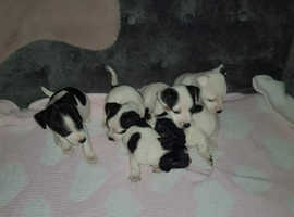 Jack Russell's to a Good Home