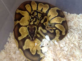 Yearling enchi pastel python