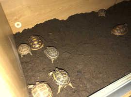 Tortoises for sale