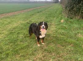 A kc reg Bernese mountain dog for sale