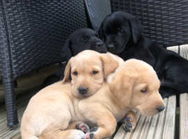 Labrador Retrievers in Bournemouth | Dogs & Puppies For Sale