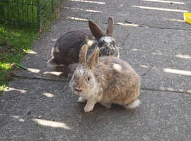 Tow rabbit