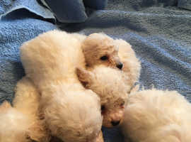 Bichon Frise Dogs & Puppies For Sale & Rehome in South West