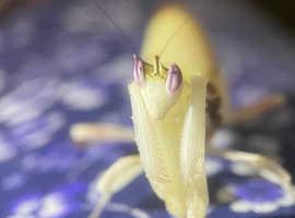Sub adult female Orchid mantis