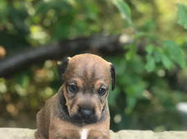 Jagdterrier x Plummer puppies.