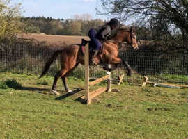 15.1hh Tb gelding -super prospect for the future