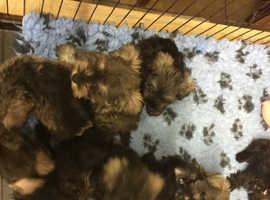 Beautiful miniature schnauzer puppies beautiful colours