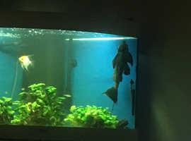 catfish redpleco