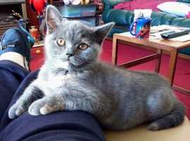 Gorgeous Blue-Cream Female British Shorthair Kitten Available Now