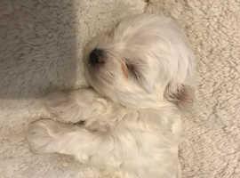 Maltese puppy's - boys