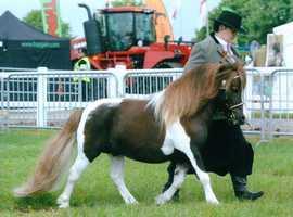 standard Shetland Stallion