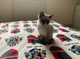 Seal point Male ragdoll kitten now ready for his forever home