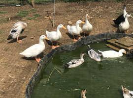 Runner Drakes & Cherry Valley ducks