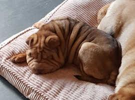 Shar pei boy puppy