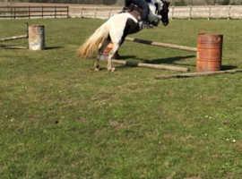 14.2hh cob mare