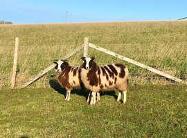 Jacob 2019 Gimmer Lambs