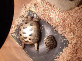 2 Tortoises for sale