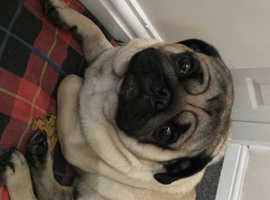 Male pug full pedigree and kc registered
